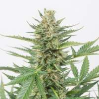 Cheese XXL Auto Feminised Seeds