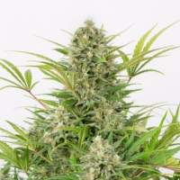 Critical Cheese Auto Feminised Seeds