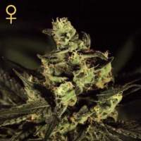 Deep Cheese Feminised Seeds