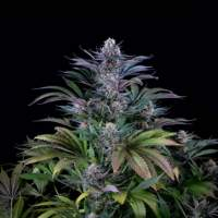 Super Silver Feminised Seeds