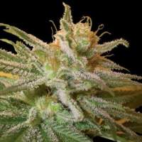 Kushberry Feminised Seeds