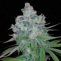Kandy Kush x Skunk Regular Seeds