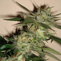 Sleestack x Skunk Regular Seeds
