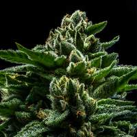 DO-G Feminised Seeds
