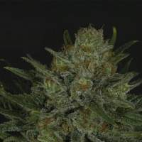 Double Glock Feminised Seeds