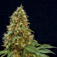 Dreamy Widow Feminised Seeds