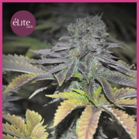 Early Widow Feminised Seeds