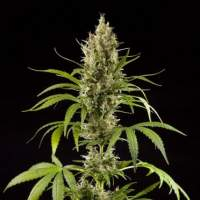 Easy Haze Feminised Seeds