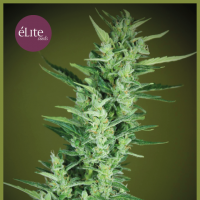 Elite 47 Auto Feminised Seeds