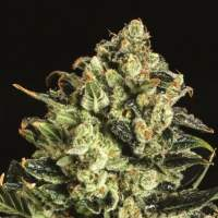 Emerald Jack x SCBDX Feminised Seeds