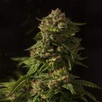Fallen Angel Feminised Seeds