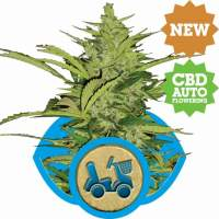 Fast Eddy Automatic Feminised Seeds