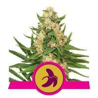 Fat Banana Feminised Seeds