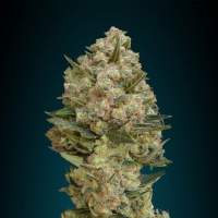 Collection #2 Feminised Seeds