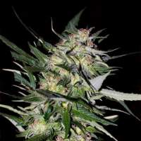 Collection #4 Feminised Seeds