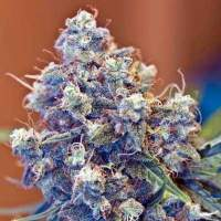 ICED Grapefruit Feminised Seeds