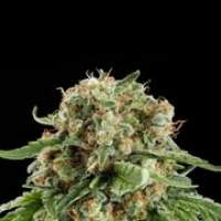 White Siberian Feminised Seeds