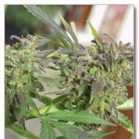 Easy Sativa Feminised Seeds