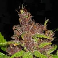 Purple Mazar Autoflowering Regular Seeds