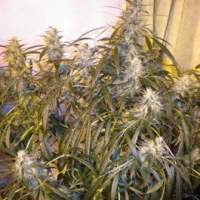 Number One Autoflowering Feminised Seeds