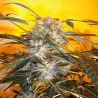 Nirvana Sky Autoflowering Feminised Seeds