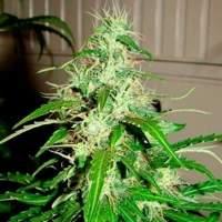 Diesel Haze Autoflowering Regular Seeds