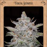 Forum Stomper Auto Feminised Seeds