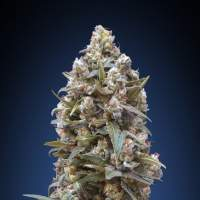 00 Kush Feminised Seeds