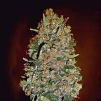 Automatik Collection #1 Feminised Seeds