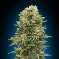 Female Mix Feminised Seeds