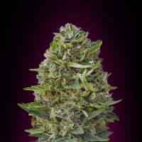 Caramel Kush Feminised Seeds