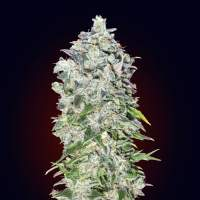 Auto 00 Kush Feminised Seeds