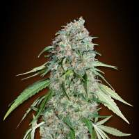 Chocolate Skunk CBD Feminised Seeds