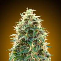 Automatik Collection #3 Auto Feminised Seeds