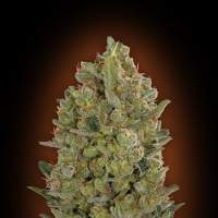 Female Collection #3 Feminised Seeds