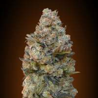 Chocolate Skunk Feminised Seeds