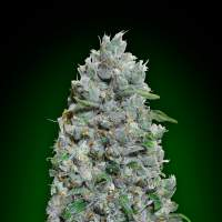 Afghan Mass XXL Auto Feminised Seeds