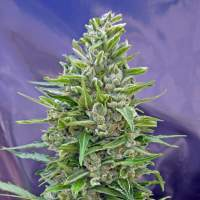 Automatik Mix Auto Feminised Seeds