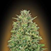 Female Collection #4 Feminised Seeds
