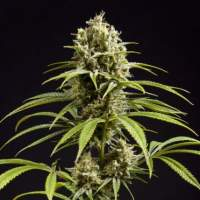 Fruity Jack Feminised Seeds