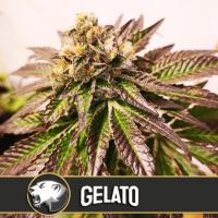 Gelato Feminised Seeds