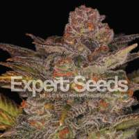 Glueberry Auto Feminised Seeds