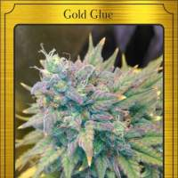 Gold Glue Auto Feminised Seeds
