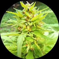 Golden Cannary AUTO Regular Seeds