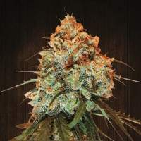 Golden Tiger Feminised Seeds