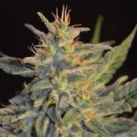 Goo-Che Regular Seeds