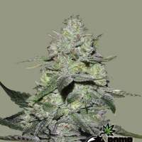Gorilla Bomb Feminised Seeds