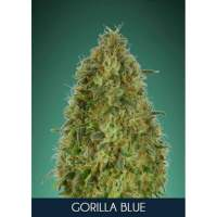 Gorilla Blue Feminised Seeds