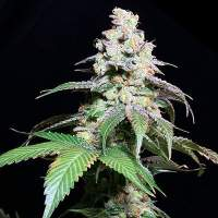 Grape Inferno Regular Seeds