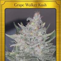 Grape Walker Kush Auto Feminised Seeds